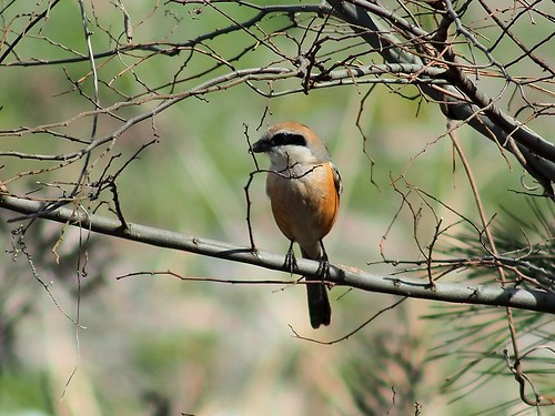Bull-headed Shrike (Lanius bucephalus, モズ) near dirt steps along Yasugawa Sports Park | by Greg Peterson in Japan
