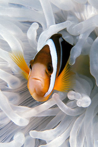 clown-fish | by Nakadive