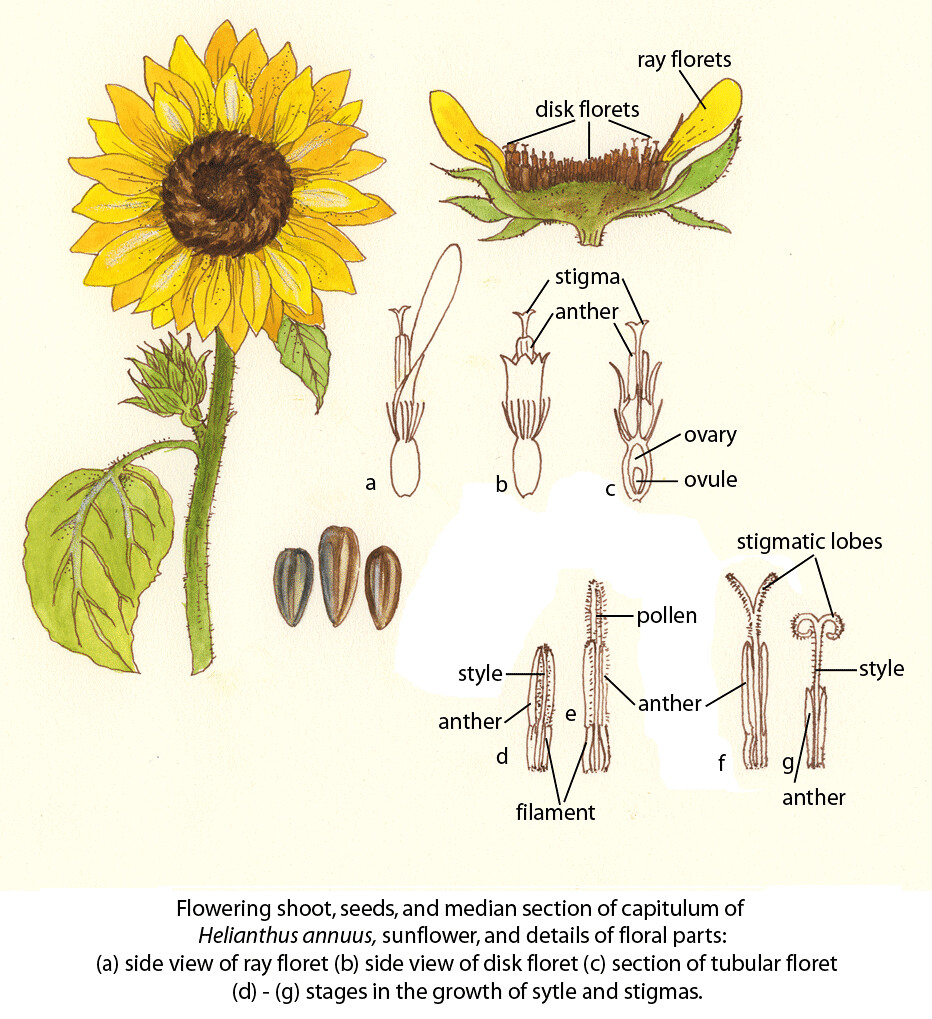 sunflower ©fao guida joseph floral diagrams of pollinator flickr  sunflower parts diagram #6