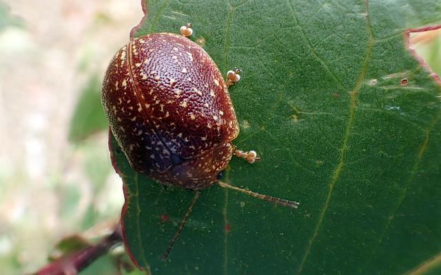 Leaf Beetle - Paropsis tasmanica