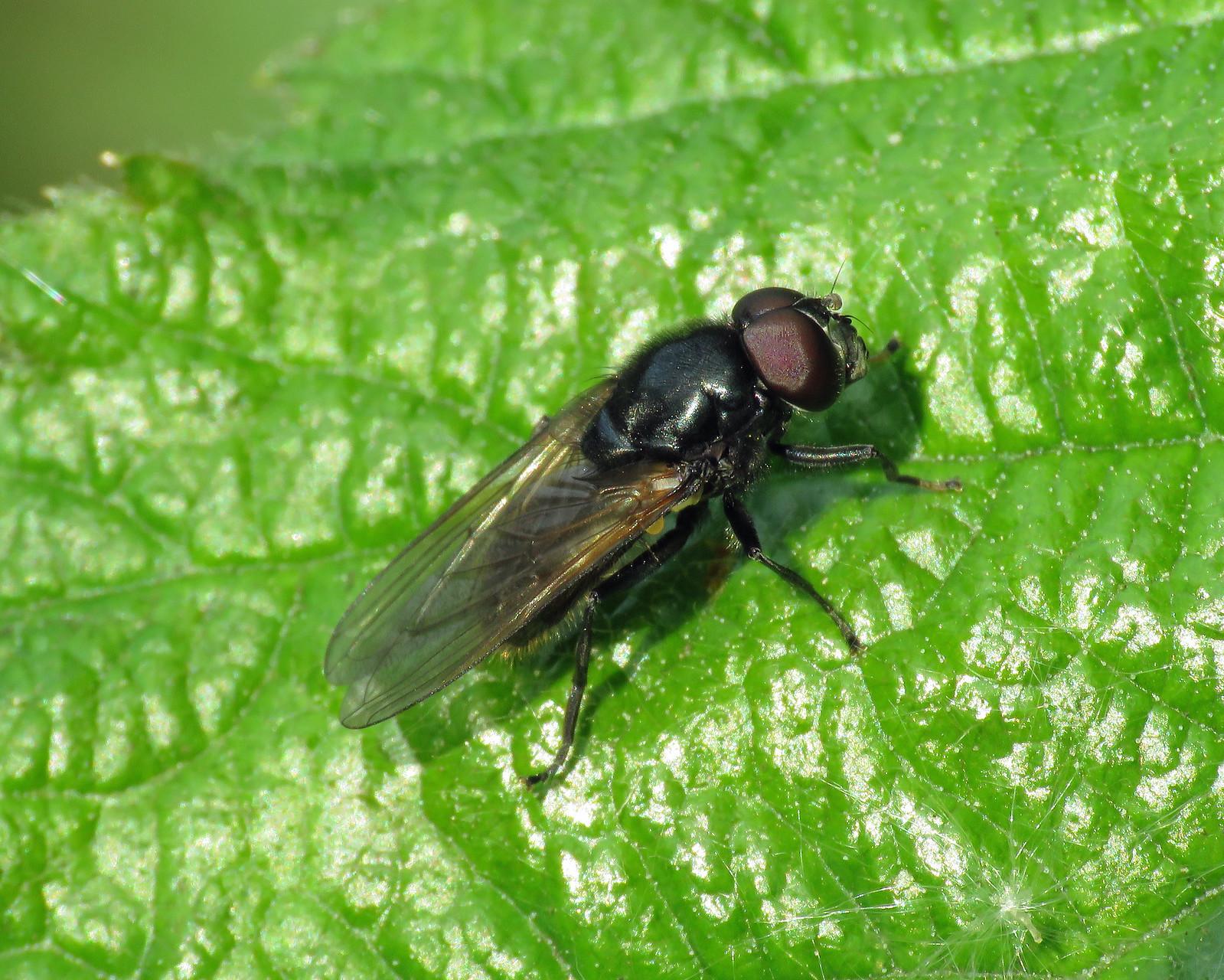 Cheilosia albitarsis sensu lato