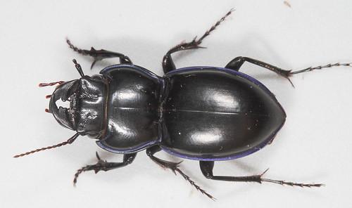 insect beetle coleoptera carabidae scaritinae pasimachus pasimachuspunctulatus northcarolina piedmont canonefs60mmf28macrousm eol taxonomy:binomial=pasimachuspunctulatus inaturalist