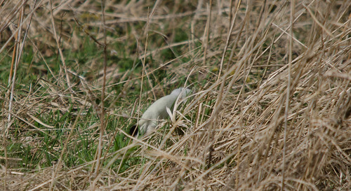 Stoat in Ermine | by markhows
