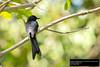 Andaman Drongo (Dicrurus andamanensis andamanensis)
