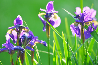 Blue flag iris | by U.S. Fish and Wildlife Service - Midwest Region