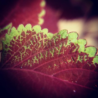 Coleus with new macro lens #garden #coleus #plants #leaves #nature #macro #closeup | by dewelch