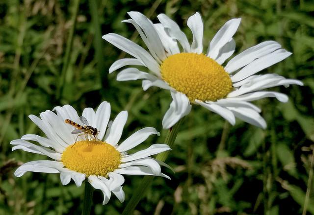 Hoverfly on Daisy 2