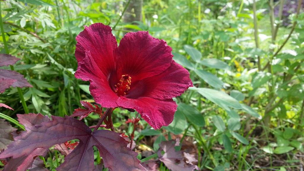 Red Leaf Hibiscus Flower Jnzls Photos Flickr