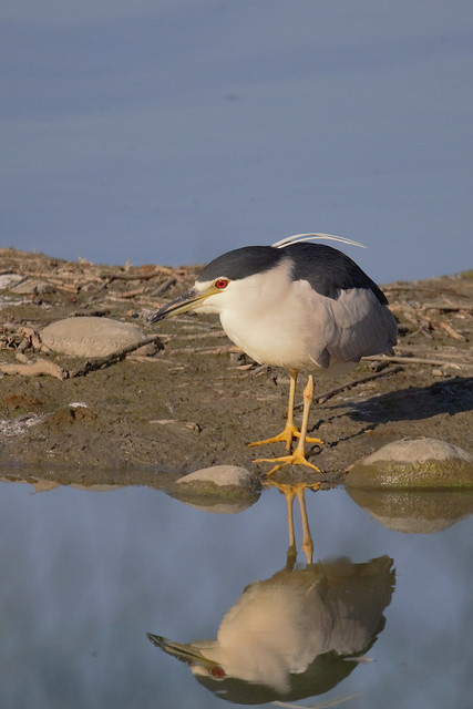 Night Heron - Nitticora