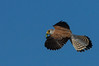 Peneireiro das Torres - Lesser Kestrel - Falco Naumanni by rasta_parta_man