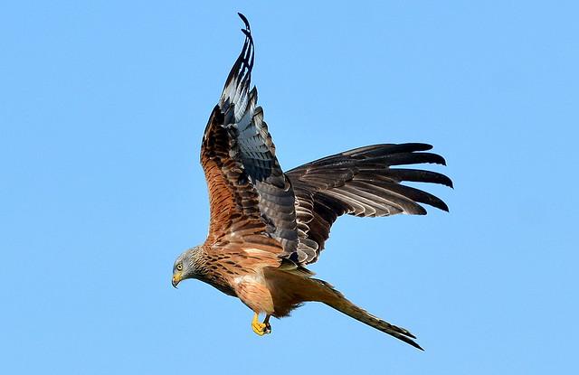 DSC_3206 Red Kite