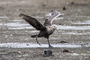 Southern Giant Petrel at Elephant Point IMG_1154 by grebberg