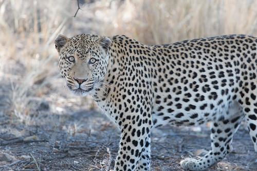 africa cat nature leopard animal 2016 namibia felidae pantherapardus windhoek otjozondjupa pantheraparduspardus africanleopard