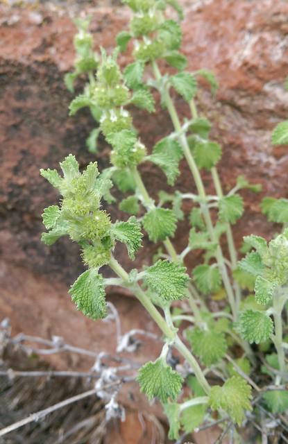 Marrubium vulgare (horehound) non-native