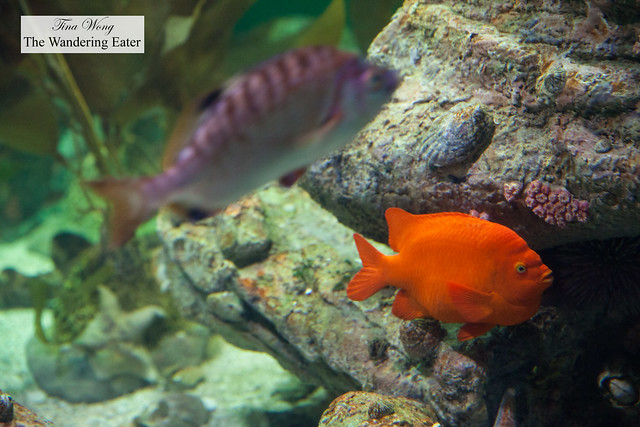 Garibalidi fish in Atlantic to Pacific exhibit