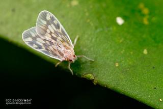 Derbid planthopper (Derbidae) - DSC_4640
