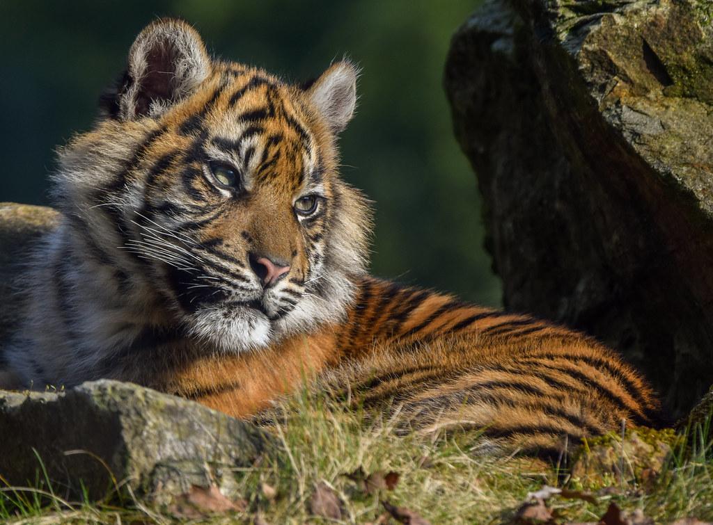 tiger cubs episode 8 rmvb