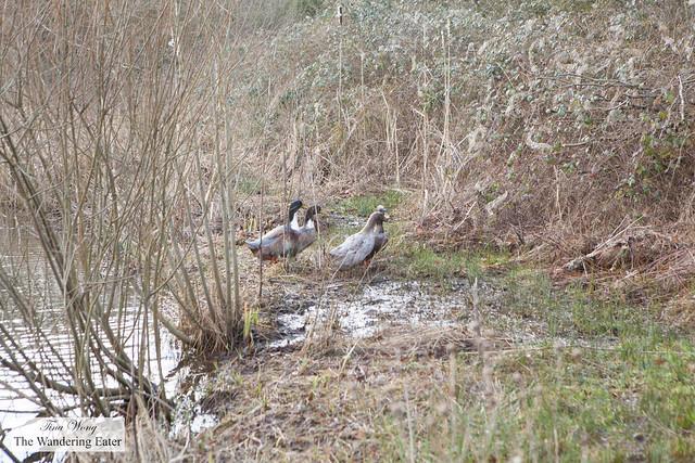 Large ducks around the pond