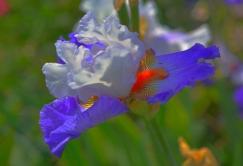 flowers blue iris red usa white plant flower color macro green yellow closeup bulb oregon outdoors spring nikon dof purple bright bokeh outdoor violet depthoffield wife salem 40mm hdr springtime 2016 willamettevalley salemoregon schreiners gaylene easyhdr irisgardens ƒ40 nikkonlenses nikond7100 afsmicronikkor40mm128g spring2016