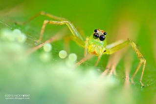 Jumping spider (Lyssomanes sp.) - DSC_7381