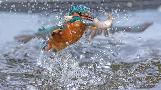 DSC_0938 Kingfisher