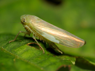 Leafhopper | by treegrow
