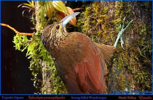 STRONG-BILLED WOODCREEPER Xiphocolaptes promeropirhynchus at Sachatamia Lodge above Mindo in Northwestern ECUADOR. Photo by Peter Wendelken.