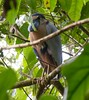 Boat-billed Heron by tapaculo99