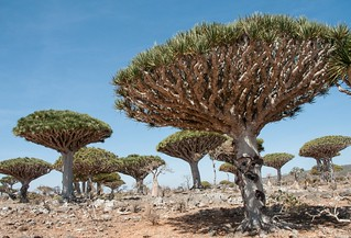 Ile de Socotra_Février 2015_Dragonniers_Dixham | by Pipaillon