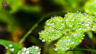 Dewdrops of the Dawn | by jonathan.leung