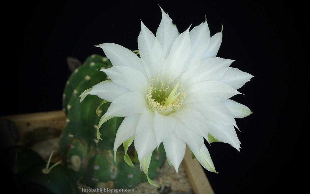 Biały kwiat kaktusa Wallpaper Full HD 1920x1200 tapeta ...