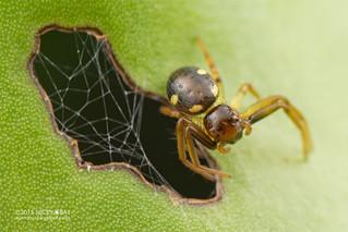 Crab spider (Thomisidae) - DSC_4781