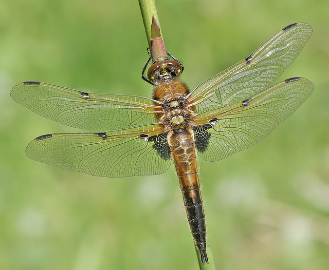 Immature Four-spotted chaser