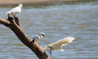 20150316_7387 Long-billed Corella - Cacatua tenuirostris | by williewonker