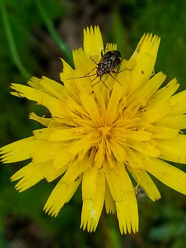 flower unitedstates blossom beetle mountpleasant northcarolina hike wildflower asteraceae coleoptera pollinate compositae cabarruscounty buffalocreekpreserve catawbalandsconservancy 7911maliburoad dutchbuffalocreek