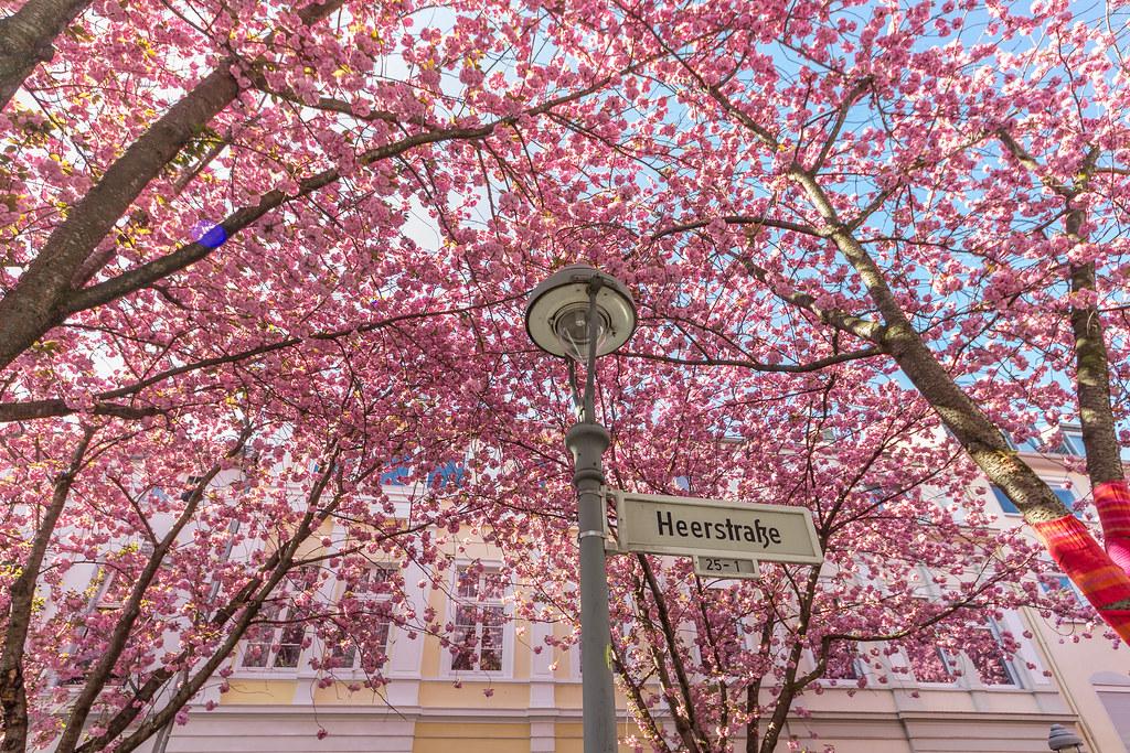 Cherry Blossom Avenue in Bonn V