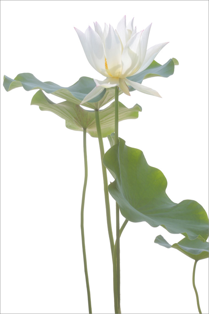 White Lotus Flower And Backlit Leaves On White White Lotus Flickr