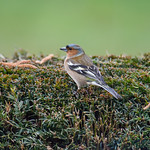 Common Chaffinch4