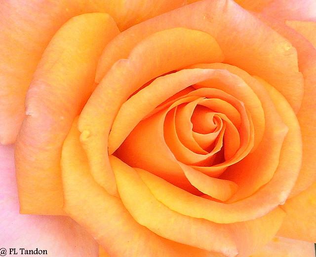 Orange Rose macro