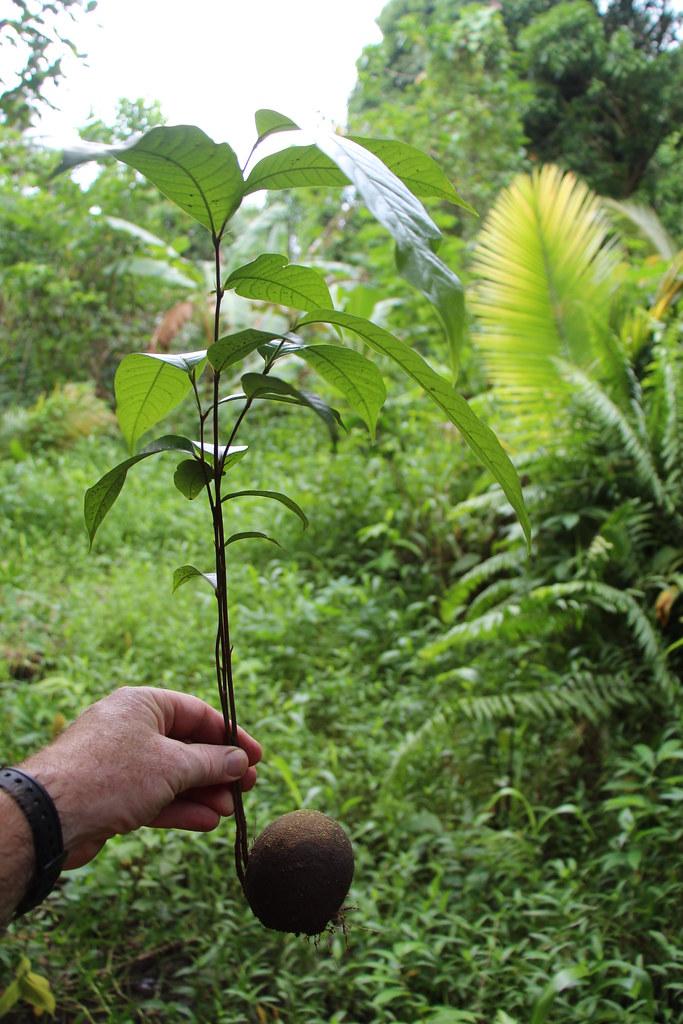 Atuna racemosa seedling
