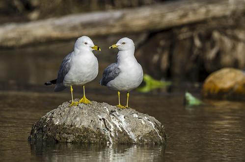 Couple Of Ring-billed Gulls | by Miguel de la Bastide