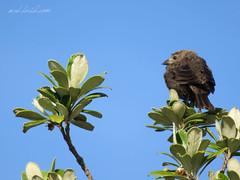 House Finch (Haemorhous Mexicanus) Big Sur, California