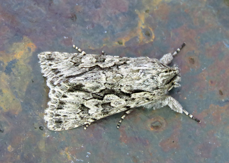 73.069 Early Grey - Xylocampa areola