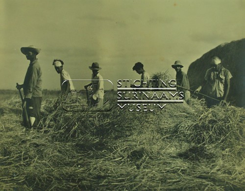 Rijst oogsten   by Stichting Surinaams Museum