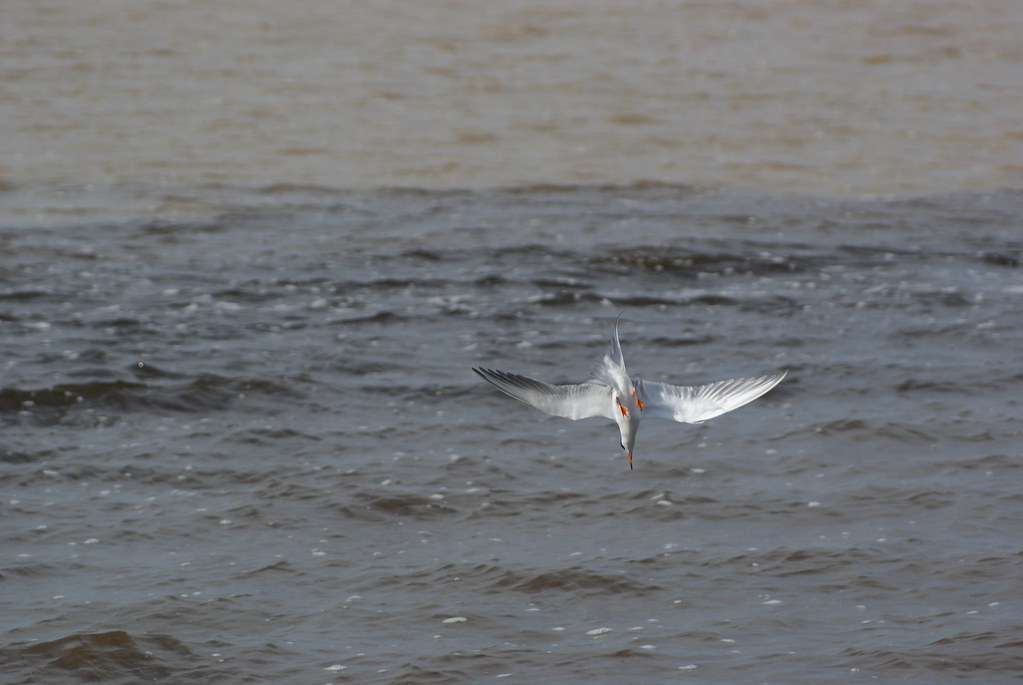 Diving Foresters tern