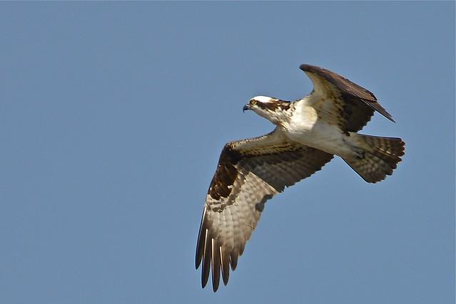 Osprey ©