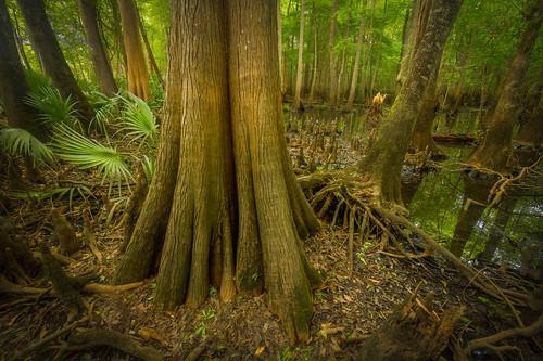 tree river georgia bald coastal swamp cypress knees plain hdr ogeechee taxodium distichum