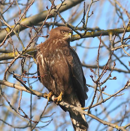 Rovfugle-Musvaage
