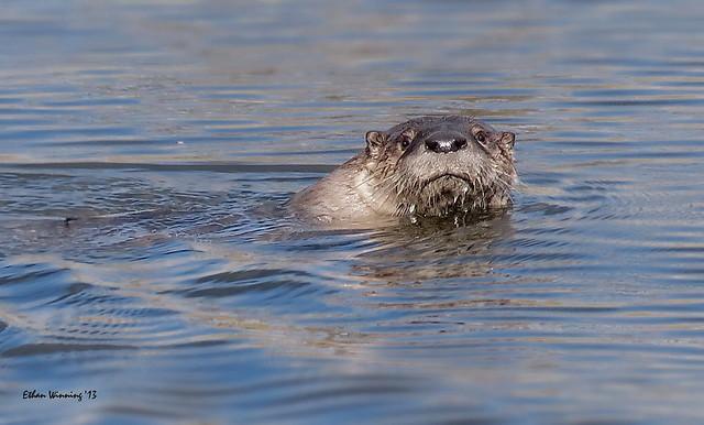 Wild River Otter 3782
