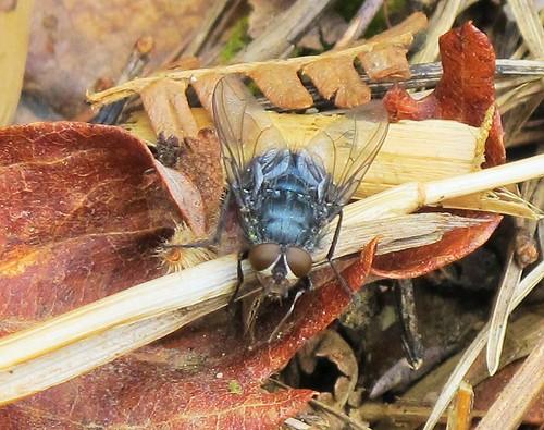 macro fauna insect fly invertebrate diptera islandwood hfdf canong11